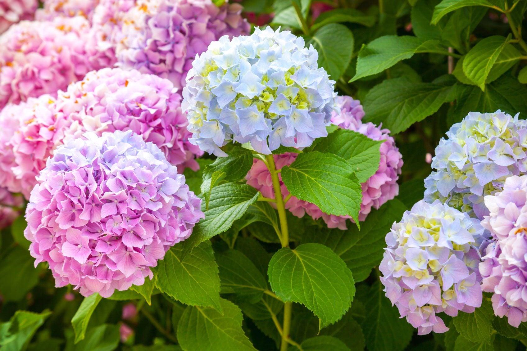 Change Color Of Hydrangea Bush: How To Make Hydrangea