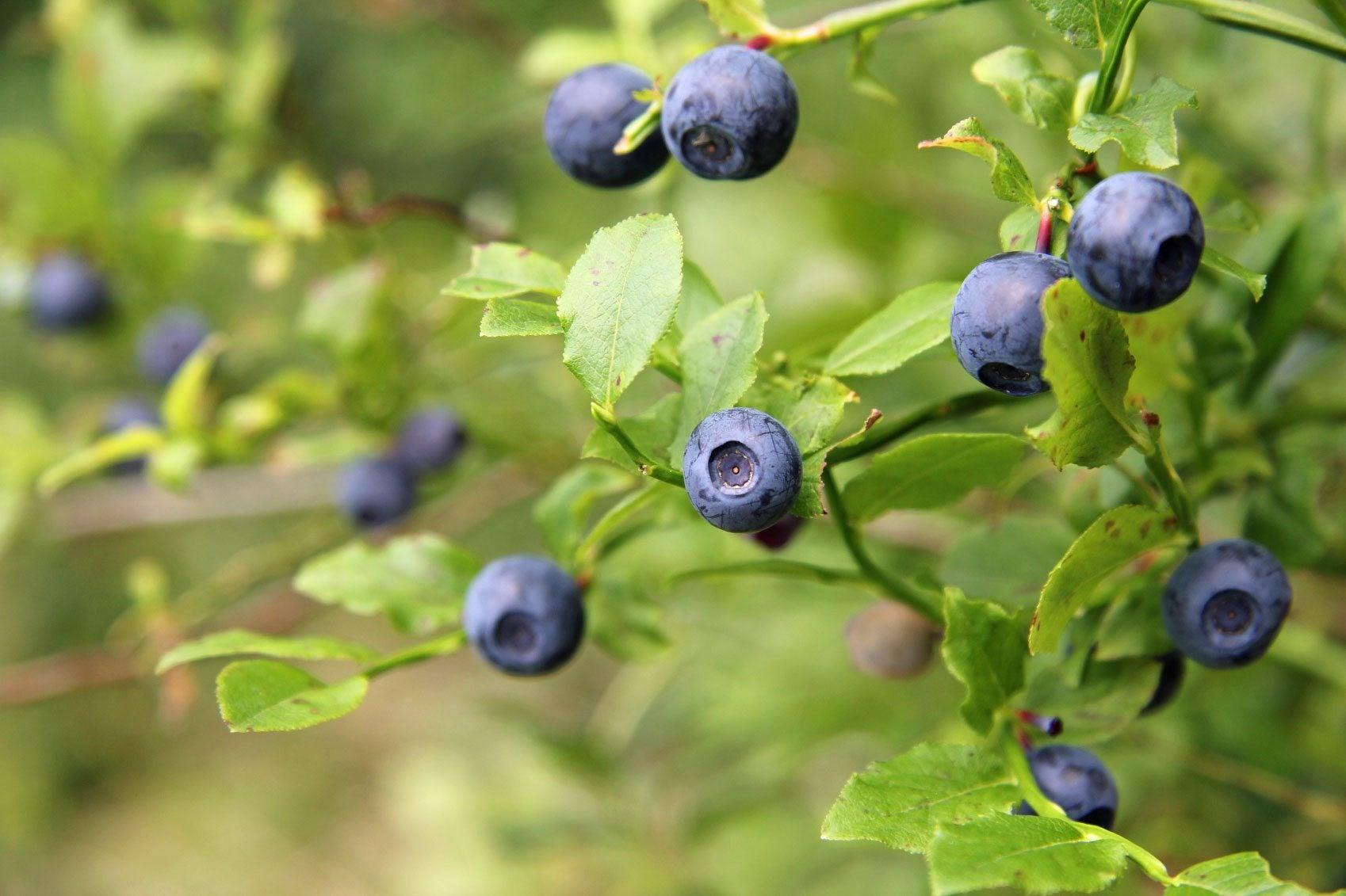 Fertilize Blueberry Bushes