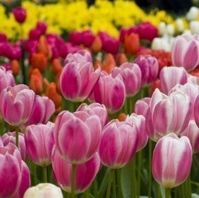 How And When To Fertilize Tulips