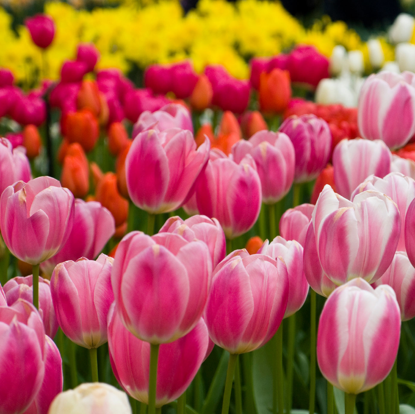 Tulip Fertilizer How And When To Fertilize Tulips