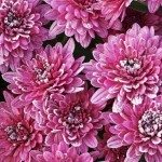 Chrysanthemums-winter