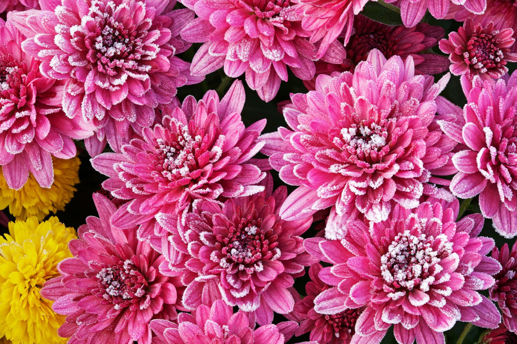 Wintering mums tips for winter care for mums izmirmasajfo
