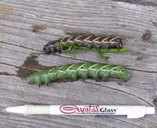 green and black hornworms