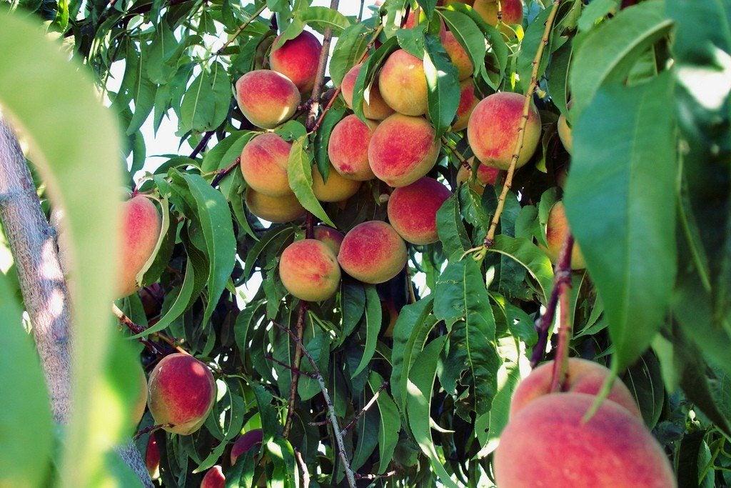 Peach tree fertilizer how to fertilize peach trees for The peach tree
