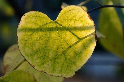 leaf-chlorosis