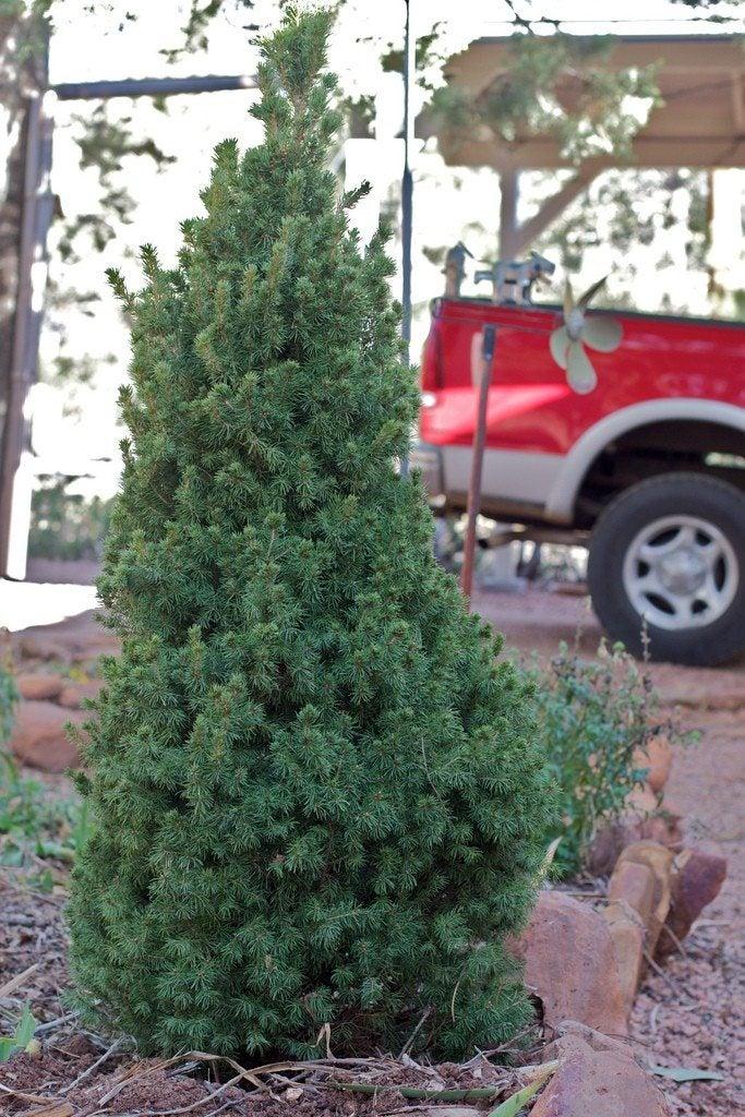 Planted Christmas Trees
