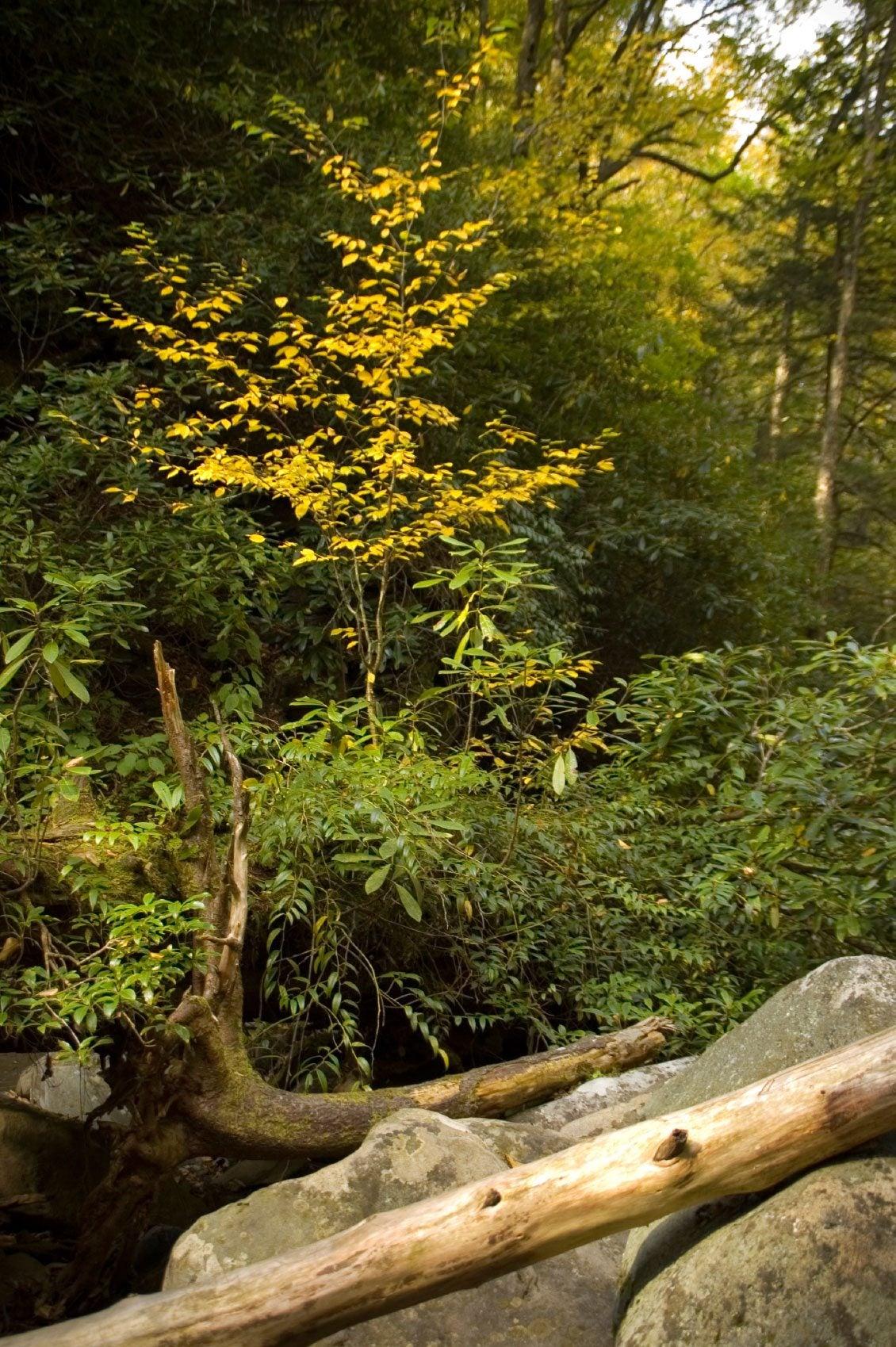 Evergreen Shrubs For Shade Find A Shade Loving Evergreen Shrub For The Garden