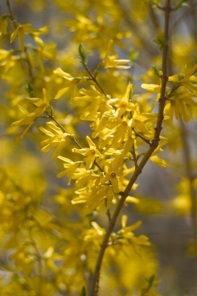 Forsythia Bushes Tips For The Care Of Forsythia