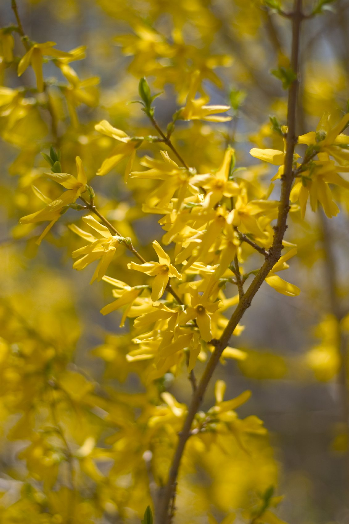 Forsythia bushes tips for the care of forsythia - Flowers that bloom from spring to fall ...