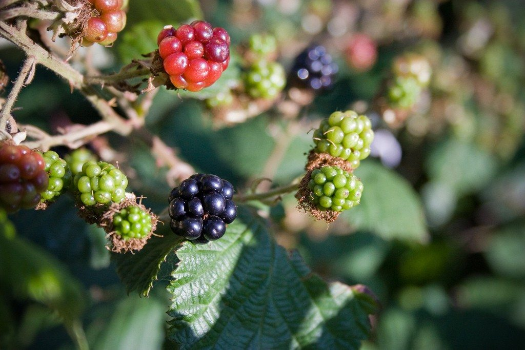 Blackberries Not Fruiting Why Your Blackberry Bush Won T