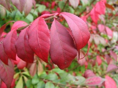 Burning Bush Pruning How And When To Prune Burning Bushes