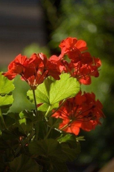 geranium-blooms