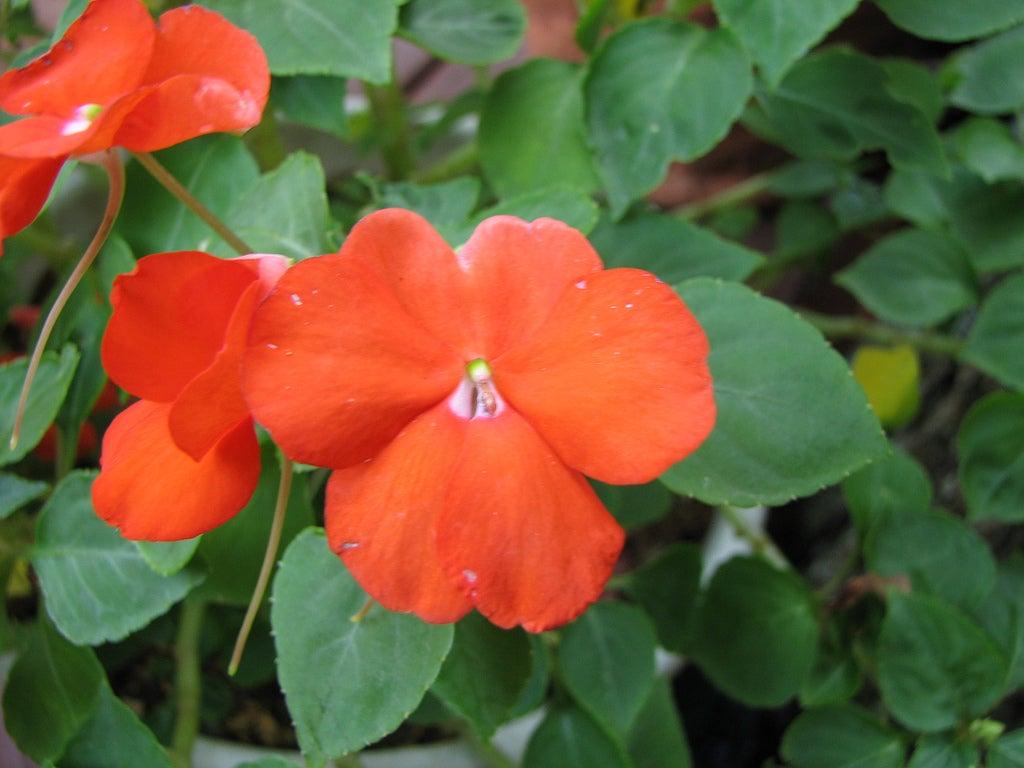 Impatiens Flowers Tips For Growing Impatiens