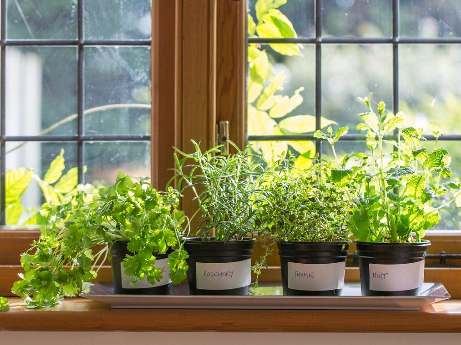 Growing Herbs Indoors How To Grow Herbs Indoors