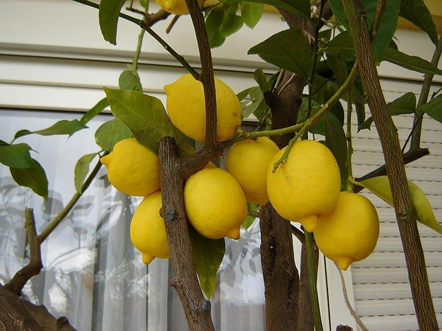 Container lemon trees growing a lemon tree in a pot for What does a lemon tree seedling look like
