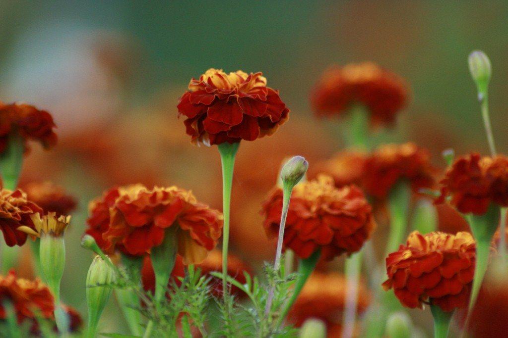 Roses In Garden: Growing Marigolds For Flowers In Your Garden