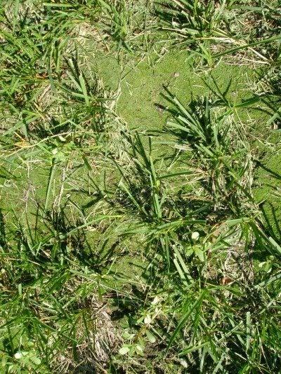 moss-in-grass