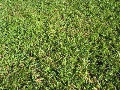 Centipede grass maintenance and planting tips