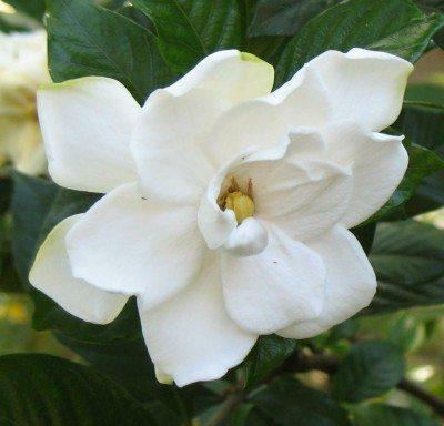 gardenia-blossom