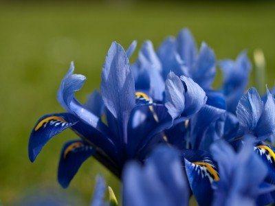 iris-blooms