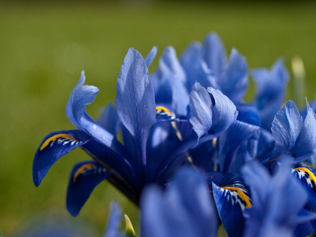 Transplanting iris tips for dividing iris plants izmirmasajfo