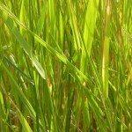 quack-grass