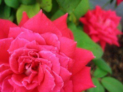 rose-blooms
