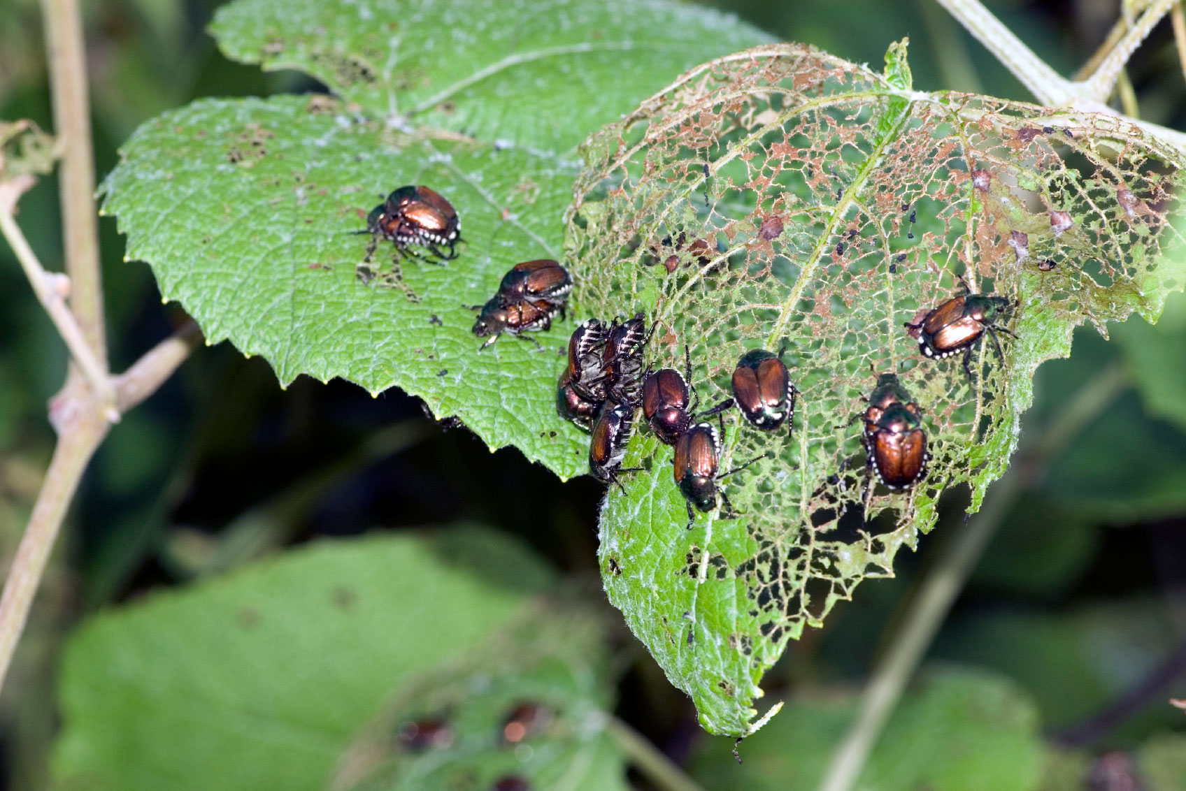 rid of asian beetles