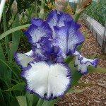 bearded-iris