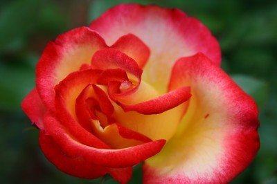 betty-boop-rose