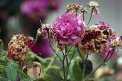 deadhead-rose