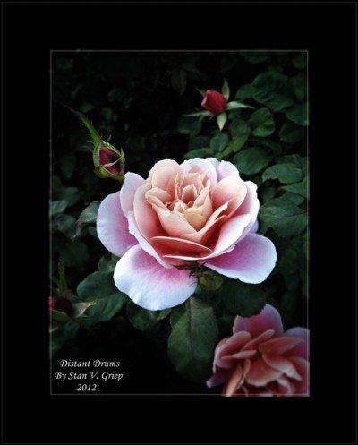 Stans Roses of 2012_October