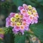 lantana-flower