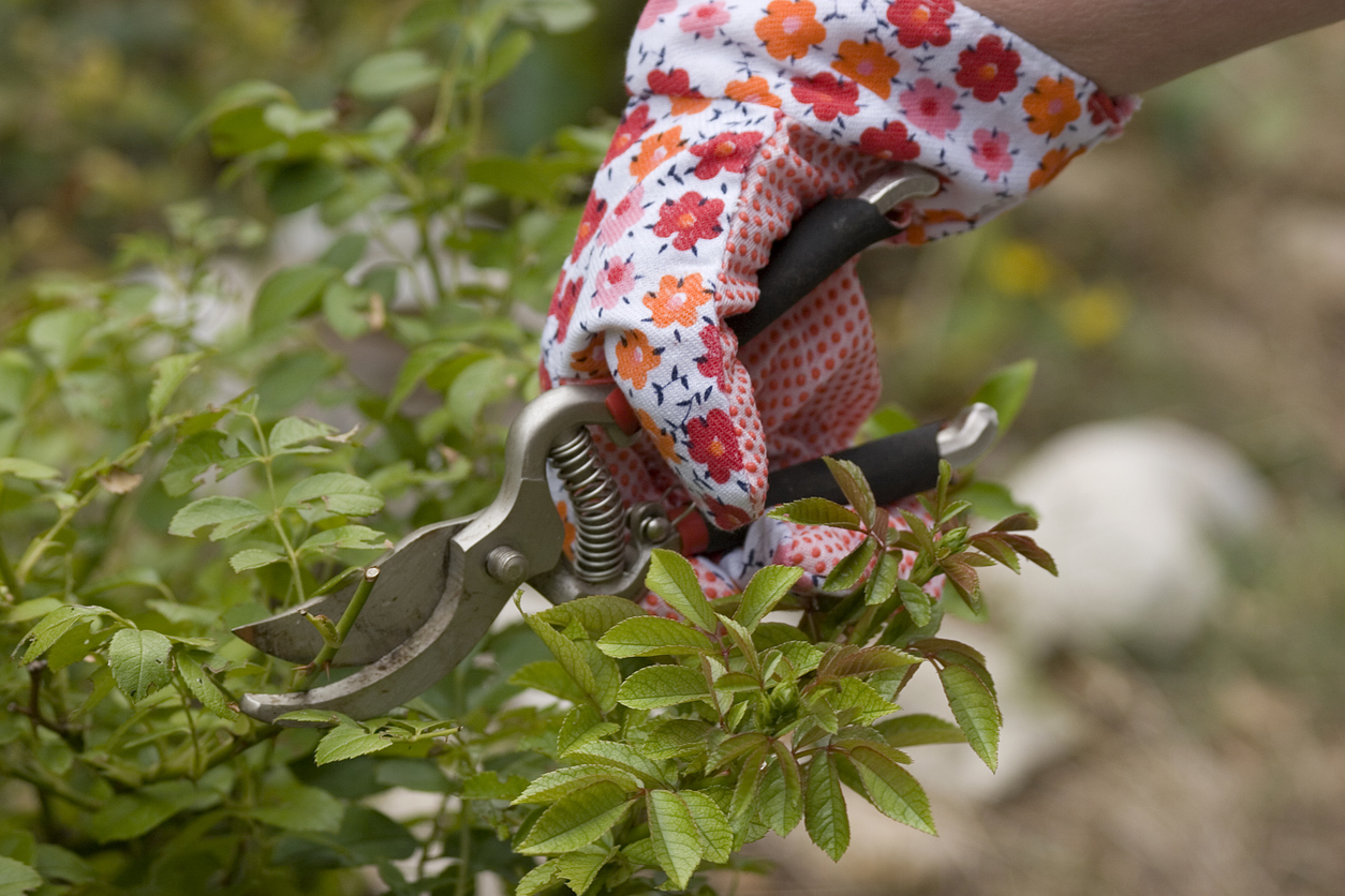 Pruning Roses How To Trim Roses