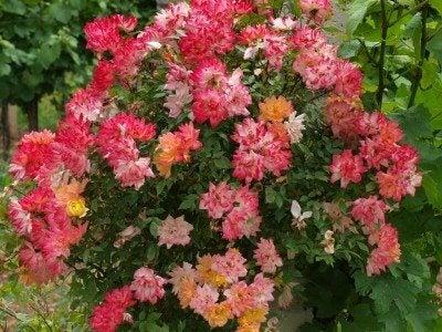 rose-shrub