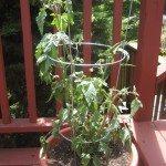 tomato-container