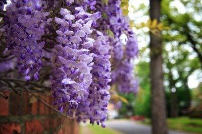 wisteria-plant