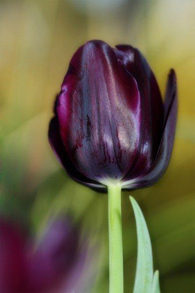 Black flower gardens: information on how to grow a black garden