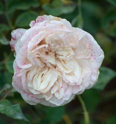 botrytis on rose flower