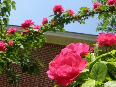 Climbing Rose Pruning Tips For Cutting Back A Bush