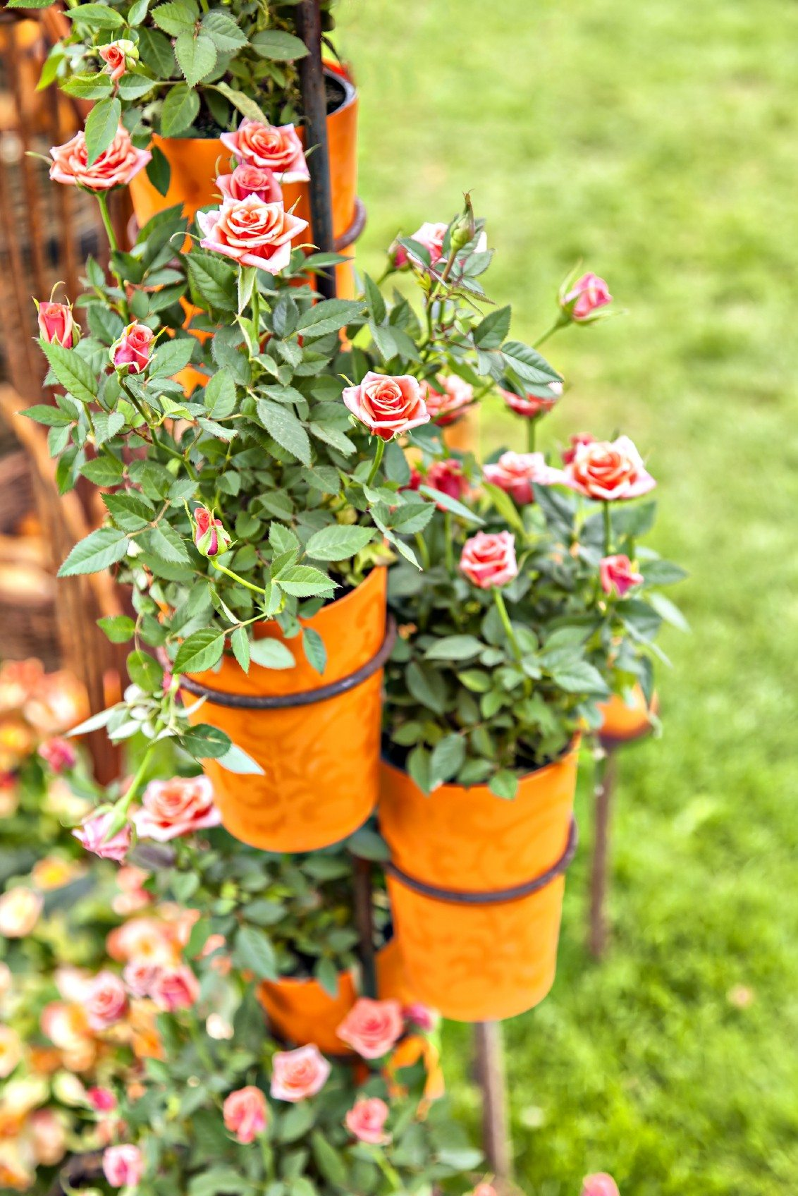 Growing Miniature Roses In Containers