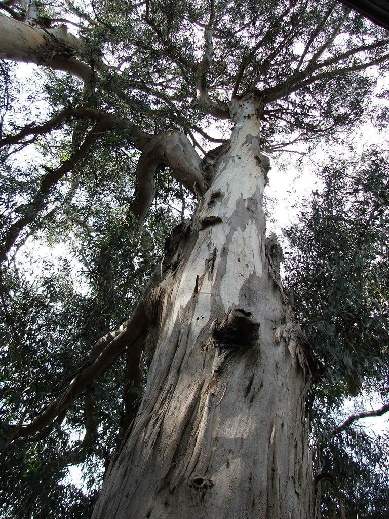 common eucalyptus tree problems eucalyptus tree diseases. Black Bedroom Furniture Sets. Home Design Ideas