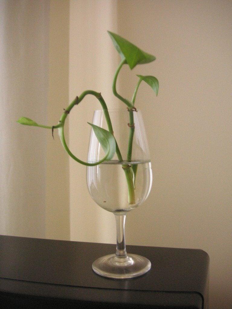 Propagating Pothos Plants Rooting Pothos Cuttings