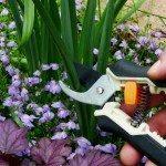 pruning daffodils