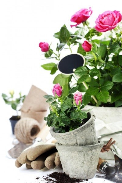 transplanting roses