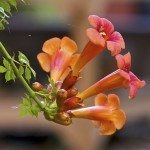 Creeper Vine or Trumpet Vine