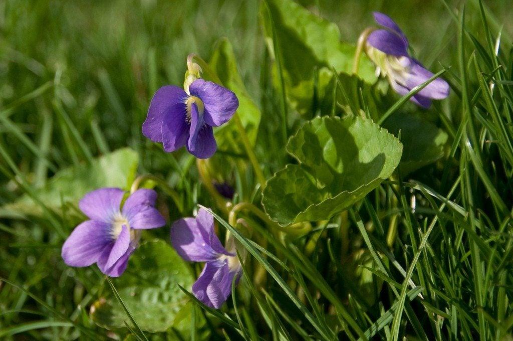 Killing Wild Violets – Tips For Wild Violet Control