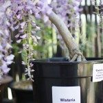 wisteria in container