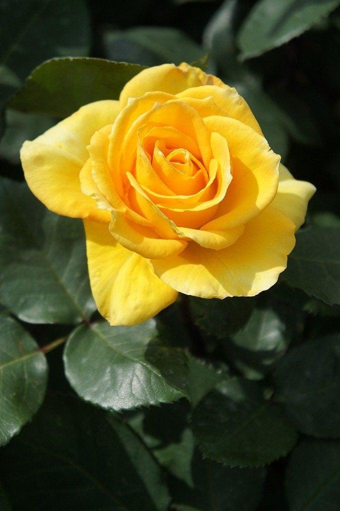 Fertilizing Roses When To Fertilize