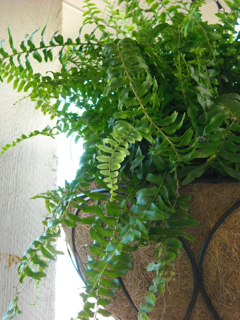 Trimming boston ferns how to cut back boston ferns for House plant maintenance